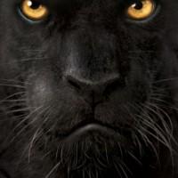 black panther1