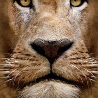 lion face2